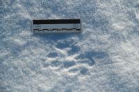 コヨーテの足跡
